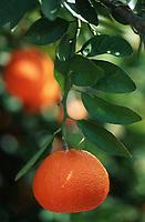 Europe/Chypre/Env de Paphos: Orange sur arbre
