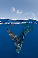 RX3959-D. Whale Shark (Rhincodon typus) swimming away, view from behind the towering tail fin. This is the largest fish in the sea, growing to 50 feet long, and is found around the world in tropical seas. It feeds primarily on tiny plankton. Gulf of Mexico, Mexico, Caribbean Sea.<br /> Photo Copyright &copy; Brandon Cole. All rights reserved worldwide.  www.brandoncole.com