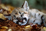 Sleeping cougar cub, Minnesota