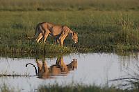 Reflection of African lion at water's edge, Duba Plains, Botswana
