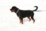 California, Lake Tahoe: Young Rottweiler dog 15 month old in the snow at  North Lake Tahoe Regional Park.  Photo copyright Lee Foster.  Photo # cataho107596