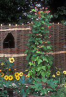 Sunflowers, Scarlet runner bean vine in flowers, zucchini vegetables, willow fence, combines flowers and vegetable garden together