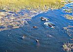 aerial of Okavango with buffalos, antelops running across reeds and savanna