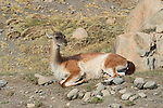 A Guanaco rest on the rocky terrain in Patagonia, Chile.