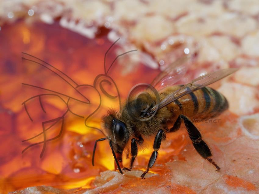 Honeybee on honey