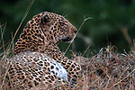 Africa, Kenya, Masai Mara. Mara Leopard.