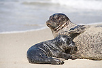 Children's Pool, La Jolla, California; a  Harbor Seal (Phoca vitulina) mother uses her front flipper to direct her newborn pup to nurse