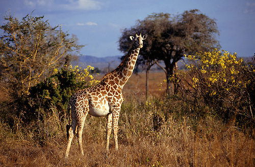 Mikumi Game Reserve, Tanzania. Pregnant giraffe looking at the camera with trees behind.