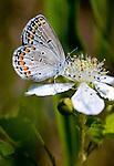 An Endangered Female Karner Blue Butterfly, Waushara County, Wisconsin..