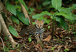 A Ocelot kitten on the rainforest floor looks as if it just woke up from a nap.