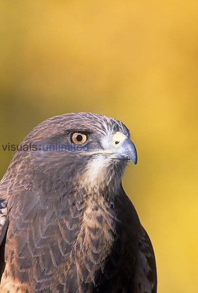 Swainson's Hawk head (Buteo swainsoni), North America.