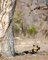 Wild African Dog enjoying a bit of shad on a roasting October day in Kruger National Park.  I was pleased to see wild dogs because they are so rear as they are an endangered species.