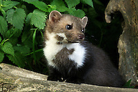 Stone Marten or Beech Marten young (Martes foina), Normandy, France