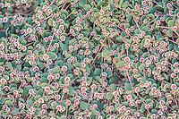 Euphorbiaceae (Spurge Family)
