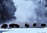 bison herd on Old Faithful Geyser cone