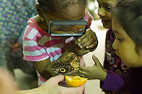 """Children from the Goddard Riverside Head Start Program observe an owl butterfly (caligo eurilochus) in """"The Butterfly Conservatory:  Tropical Butterflies Alive in Winter"""" at the American Museum of Natural History in New York on Thursday, October 6, 2011.  500 butterflies hover above the visitors in the 1200 square foot  vivarium where children and adults can observe and play amongst the flying beauties.  (© Frances M. Roberts)"""