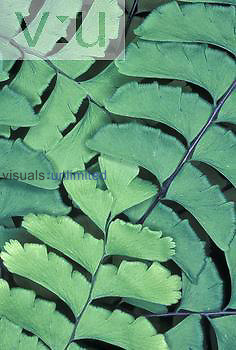 Maidenhair Fern fronds, USA.