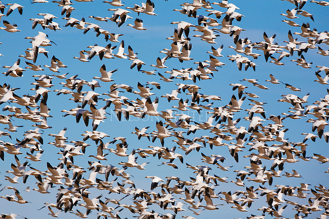 A flock of Snow Geese flying to the grain fields during a stop at Freezeout Wildlife Refuge in Montana on their spring migration north
