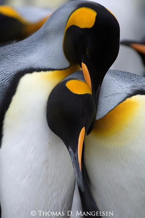 King penguin pair strengthening their pair bond at Gold Harbor on South Georgia Island.