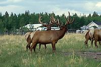 DEER FAMILY (CERVIDAE)<br /> Male Elk<br /> Cervus elaphus, Yukon