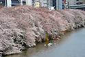 April 7, 2012, Tokyo, Japan - Rowing boats leisurely floats in the Imperial moat under fully-bloomed cherry blossoms in the heart of Tokyo on Saturday, April 7, 2012...Its Easter weekend for Christians but its a cherry blossoms viewing time for Japanese. The annual cherry blossoms blooms is a national obsession in the country and specially this years Hanami was keenly awaited because of the harsh winter and after a disastrous year of March 11 earthquake and tsunami in the nations northeastern region. (Photo by Natsuki Sakai/AFLO) AYF -mis-.