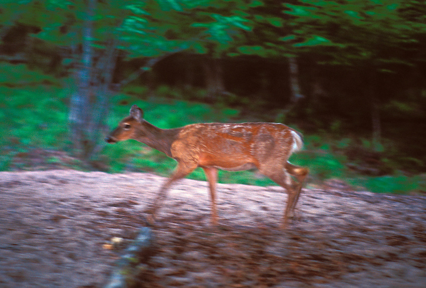 A whitetail deer walks the woods of York Island at dusk in Apostle Islands Nationa Lakeshore near Bayfield, Wis.
