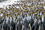 South Georgia Island, Gold Harbour, king penguins (Aptenodytes patagonicus)
