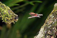 A cardinal jumping spider jumping