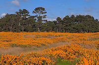 Field Of Gold - Salt Water Marsh - Oregon Coast