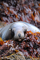You are sleepy, very sleepy - Seal on the rocks in the Snares Islands