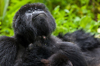 A gorilla blissfully scratches an itch in the jungle of Rwanda's Virunga Mountains.