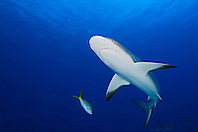 Caribbean Reef Shark, Carcharhinus perezi, West End, Grand Bahamas, Atlantic Ocean