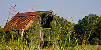 Barn, overgrown with ivy, in rural Arkansas north of Hot Springs.