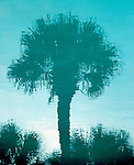 The reflection of a South Carolina palmetto tree in a swimming pool.