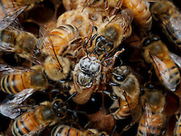 Honey Bees nurses welcoming a young honeybee queen birth