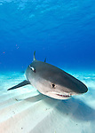 Bahamas; Sharks and dolphins; tiger shark(Galeocerdo cuvier)