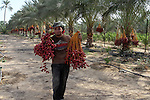 A Palestinian worker gathers bundles of dates harvested from a palm trees during the annual harvest in Khan Younis in the southern Gaza Strip, on September 30, 2015. Photo by Abed Rahim Khatib