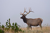 Bull elk during late summer in Wyoming