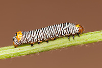 Grapevine Epimenis Moth (Psychomorpha epimenis) caterpillar (larva) on a wild grape plant, West Harrison, Westchester County, New York.  This subject was photographed in a studio set-up.