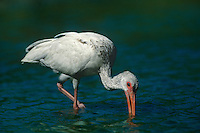 550500018 a juvenile white ibis eudocimus alba forages for waterborne prey in a small pond on a cattle ranch in the rio grande valley of south texas united states
