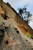 A Socotran Rock Gecko (Hemidactylus inintellectus) on rocks, Socotra, Yemen.