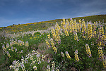 Idaho, West Central, Washington County, Weiser. Yellow and purple lupine on a hillside near Mann Creek reservoir.