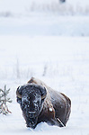 A mature bull bison walks through deep snow in Yellowstone National Park, Wyoming. Photo by Gus Curtis.
