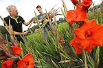 Foto: VidiPhoto<br /> HEUMEN &ndash; Vader en zoon (Hugo, 17) Theunissen oogsten woensdag de eerste gladiolen van de nieuwe oranjerode gladiool &lsquo;The Walk of the World&rsquo;, die speciaal voor de honderdste Vierdaagse veredeld. Alleen al voor de Vierdaagse levert Theunissen 300.000 stengels van de bekende snijbloem waar tijdens de wandeltocht zelfs een straat naar genoemd is: Via Gladiola. Tijdens de Vierdaagse van Nijmegen worden in Nederland dan ook de meeste gladiolen verkocht. In totaal oogst de Heumense bloemenkweker dit jaar 3 miljoen gladiolenstengels.