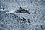 Costa Rica; a Common Dolphin (Delphinus delphis) porpoising across the surface of the Pacific Ocean at twilight