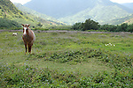 Horses roadside en route to Hanelei, Kauaii