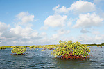 Gardens of the Queen, Cuba; colonies of red mangroves grow in the shallow water between islands in the Gardens of the Queen