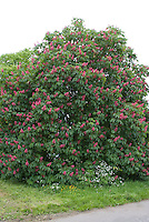 Chestnut Aesculus carnea in flower