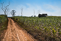 A quintessential rural scene in northern Laos with corn fields separated by a red dirt road. The footprints of local farmers and villagers can be seen on the road.<br /> (Photo by Matt Considine - Images of Asia Collection)