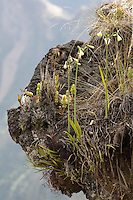Plants growing on outcrop high above Ollachea, Puno in the Peuvian Andes